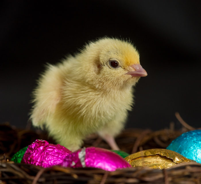 Chick and chocolate eggs