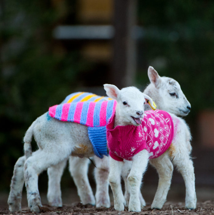 Lambs in Jackets