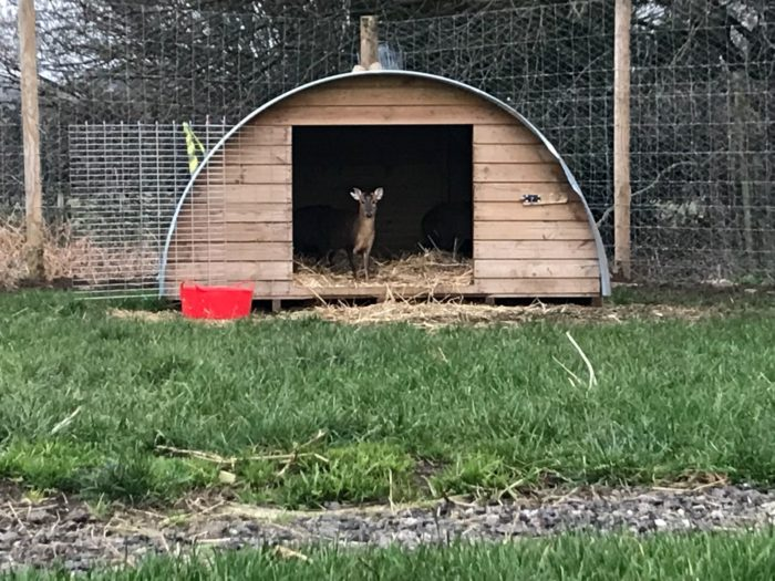 Muntjac Deer in their new home.