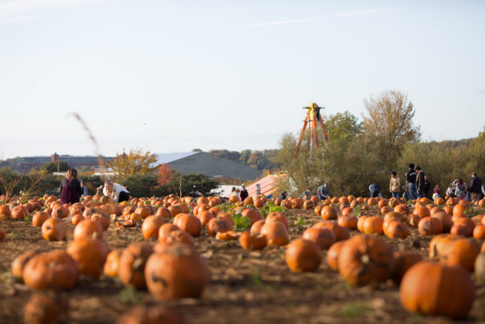 Pumpkin Patch at Avon Valley Adventure & Wildlife Park 2019