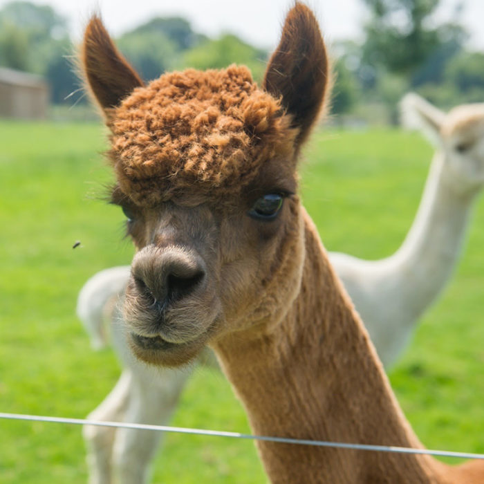 Alpaca at Avon Valley