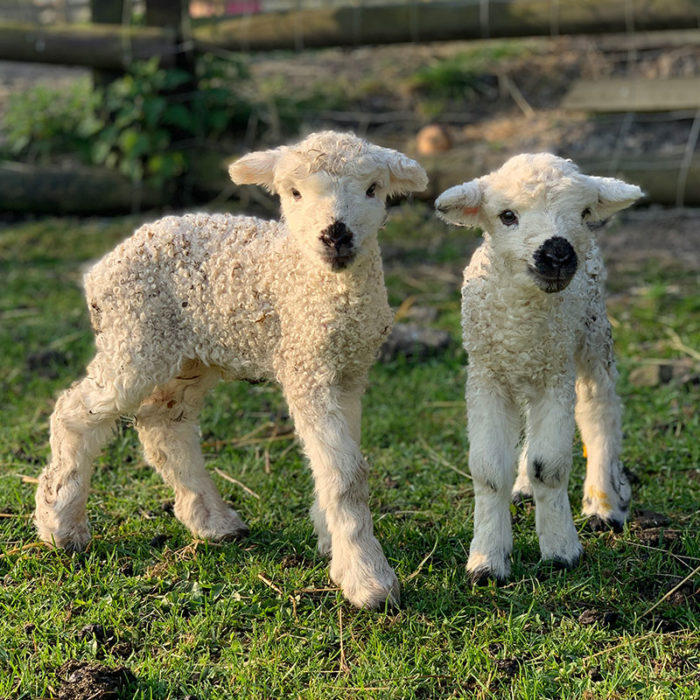 Lambs at Avon Valley