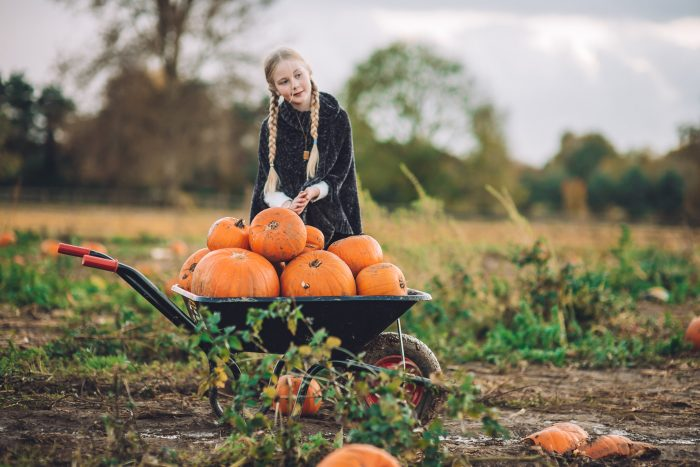 Wheelbarrow full of pumpkins with a girl with long plaited hair one evening in the pumpkin patch.